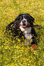 Bernese Mountain Dog Portrait In Flowers Scenery - Vertical Stock Photography - 31372702