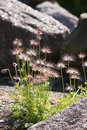 Silky Seed Heads On Pasque Flowers Stock Images - 31373494