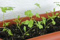 Parsley In Pot Royalty Free Stock Photography - 31380067