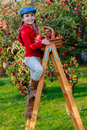 Young Girl Picking Organic Apples Into The Basket.Orchard. Royalty Free Stock Images - 31380509