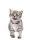 Grey Kitten Isolated Royalty Free Stock Images - 31386709