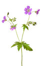 Meadow Geranium (Geranium Pratense) Flower Royalty Free Stock Images - 31387349