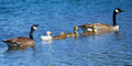Goose Family Royalty Free Stock Photography - 31419837