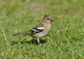 Female Chaffinch Stock Images - 31443964