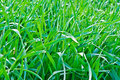 Drops Of The Morning Dew On The Green Grass. Stock Image - 31464591