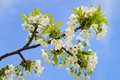 Close Up Of Blooming Wild Cherry Royalty Free Stock Images - 31466749