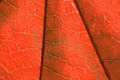 Texture Of A Red Leaf Stock Photos - 31476603