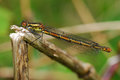Large Red Damselfly Royalty Free Stock Image - 31483996