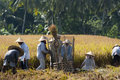 Rice Threshing In Bali, Indonesia Stock Images - 31496614