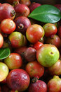 Guavas (vertical) Royalty Free Stock Image - 3152916