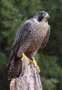 Sitting Peregrine Falcon Stock Images - 31508364