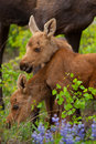 Young Twin Moose Royalty Free Stock Image - 31524976