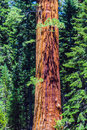 Sequoia Tree In The Sequois National Park In California Stock Image - 31534841
