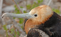 Frigate Bird, Galapagos Islands Royalty Free Stock Photos - 31553338