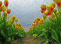 Tulip Rows - Ground Level View Royalty Free Stock Photography - 31579057