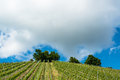 Spring Vineyard With Great Blue Sky Stock Photo - 31584830