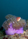 Anemone With Pink Anemone Fish Royalty Free Stock Photography - 31598167