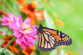 Monarch Butterfly Royalty Free Stock Image - 3163146