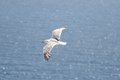 Seagull Flying Stock Photography - 31601712