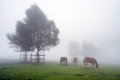 Horses Grazing In Meadow With Fog And A Tree Stock Photos - 31609193