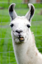 Farm Animals - Lama Royalty Free Stock Photo - 31619695