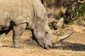 Rhino Animal Head Horn Wildlife Royalty Free Stock Image - 31623456