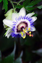 Passionflower Close-up Royalty Free Stock Images - 31629459