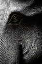 Elephant Head In Black And White Stock Images - 31632804
