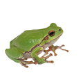 European Tree Frog Isolated On White Royalty Free Stock Images - 31673769