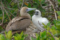 Red Footed Booby Feeding Young, Galapagos Islands Stock Photography - 31676872