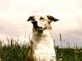 Dog In The Dandelion Meadow, Portrait Royalty Free Stock Photography - 31678917