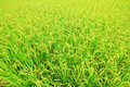 Rice ( Paddy ) Growing In The Field Royalty Free Stock Photo - 31681555