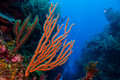 Gorgonian Royalty Free Stock Image - 31688826
