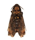 Death S Head Hawkmoth (Europe) Stock Photo - 31690340