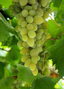 Green Grapes Royalty Free Stock Images - 3177199