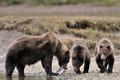 Grizzly Bear Stock Image - 31704811