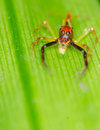 Crab Spider Royalty Free Stock Image - 31708416