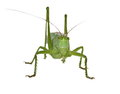 Green Grasshopper Isolated On White Stock Images - 31709124