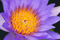 Blooming Water Lily(lotus) Royalty Free Stock Photo - 31719735
