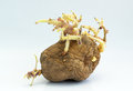 Potato Stock Photo - 31722560