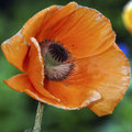 Poppy Bud Royalty Free Stock Image - 31730016
