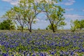 A Very Thick Blanket Of Texas Bluebonnets In A Texas Country Meadow With Trees And Blue Skies. Royalty Free Stock Photo - 31750185
