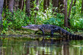 A Rare Shot Of A Large Texas Alligator Walking On A Swampy River Bank. Royalty Free Stock Photos - 31750268