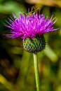 A Bull Or Spear Thistle With A Tiny Green Grasshopper On Top. Royalty Free Stock Images - 31750319