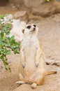 Meerkat  Standing  Upright To Guard Royalty Free Stock Image - 31760866