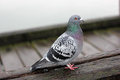 Pigeon Stock Images - 31762544