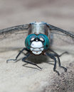 Blue Dragonfly Close-up Royalty Free Stock Photo - 31762855