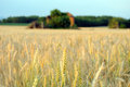Wheat Field Stock Images - 31768434
