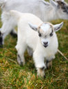 Baby Goat Royalty Free Stock Photos - 31779028