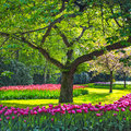 Tree And Tulip Flowers Garden Or Field In Spring. Netherlands Royalty Free Stock Images - 31786829
